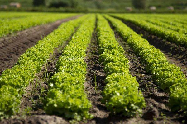 DalBello-italian-vegetables-lusia-azienda-agricola-campo-lattuga