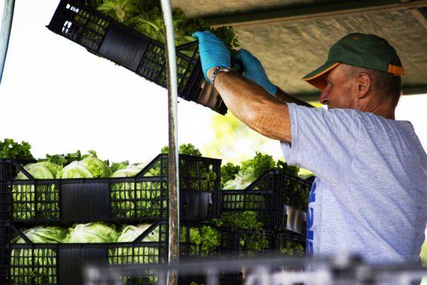 DalBello-italian-vegetables-lusia-azienda-agricola-raccolta-insalata